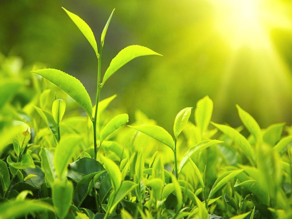 (Nhật Trà mang hương vị thuần khiết vì được trồng tại vùng núi cao)