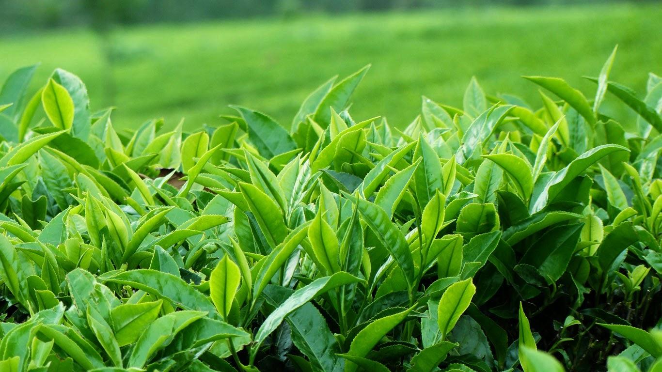 (Sản phẩm của Công ty TNHH Nam Sơn Phú Thọ có nguồn gốc 100% từ các búp trà non)